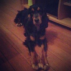 Lou, chien Cocker anglais