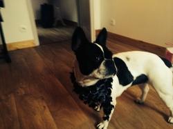 Lou, chien Bouledogue français
