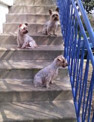 Lou, chien Yorkshire Terrier