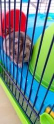 Lou, rongeur Hamster
