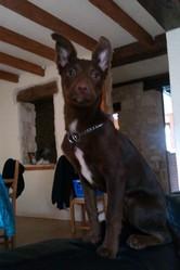 Louane, chien Border Collie