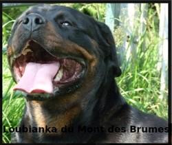 Loubianka Du Mont Des Brumes, chien Rottweiler