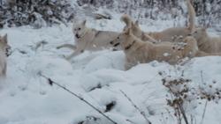 Louci, chien Berger blanc suisse