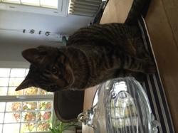 Louis, chat Européen