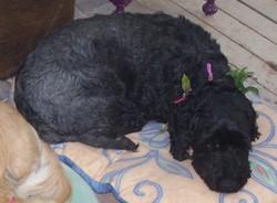 Louise, chien Caniche