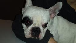 Louise, chien Bouledogue français
