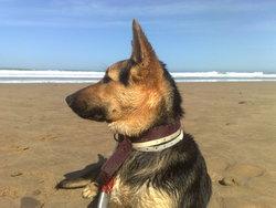 Louiza, chien Berger allemand