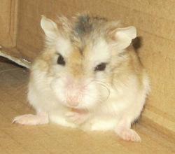 Louize, rongeur Hamster