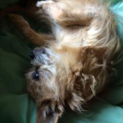 Louka, chien Chihuahua