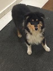 Louka, chien Colley à poil long