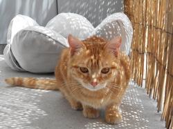 Louka, chat Européen