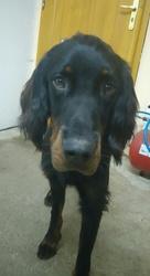 Louka, chien Setter Gordon