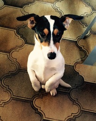 Louka, chien Jack Russell Terrier