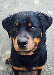 Loukai, chien Rottweiler
