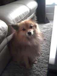 Louki, chien Spitz allemand