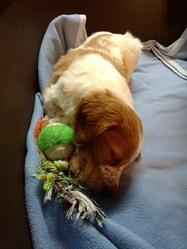 Louki, chien Épagneul breton