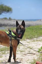 Loukia, chien Berger belge