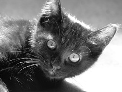 Loukoum, chat Européen