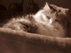 Loukoum, chat
