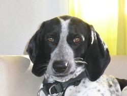 Louky, chien Braque français
