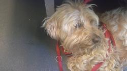 Louky, chien Terrier tibétain
