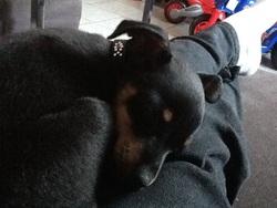 Louky, chien Pinscher