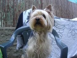 Louky, chien Yorkshire Terrier