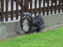 Louky, chien Lhassa Apso