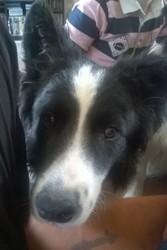 Louky, chien Border Collie