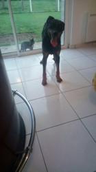 Louky, chien Beauceron