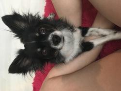 Louky, chien Chihuahua