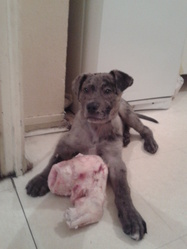 Louky, chien Dogue allemand