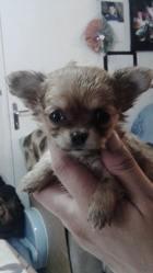 Loula, chien Chihuahua