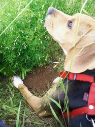 Loula, chien Beagle
