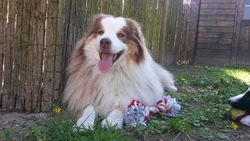 Loulaa, chien Berger australien