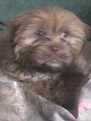 Loulou, chien Lhassa Apso