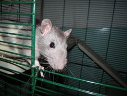 Loulou, rongeur Rat