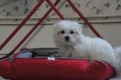 Loulou, chien Bichon maltais