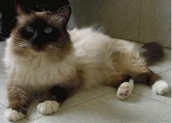 Loulou, chat Sibérien