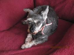Loulou, chien Schnauzer