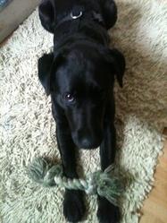 Loulou, chien Labrador Retriever