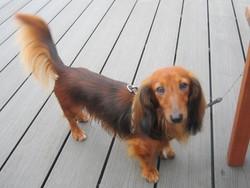 Filou , chien Teckel