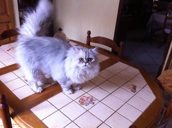 Loulou, chat Persan
