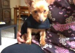 Ptilou, chien Yorkshire Terrier
