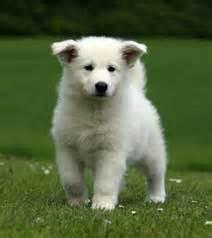 Loulou, chien Berger blanc suisse