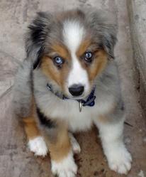 Loulou, chien Berger australien