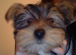 Loulou, chien Yorkshire Terrier