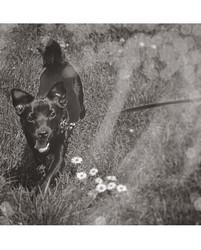 Loulou, chien Chihuahua