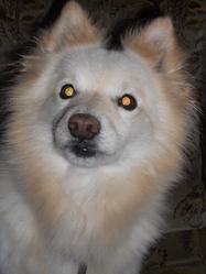 Loulou, chien Spitz japonais