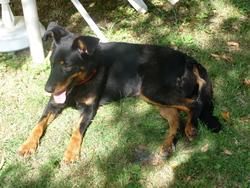 Loulou, chien Beauceron